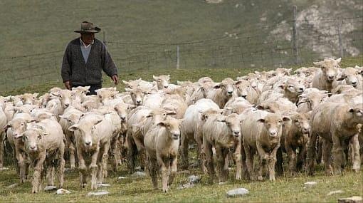 Marca carneros y ganado Huancayo