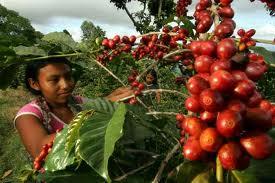 Cultivos de café